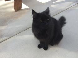 The resident Black Cat